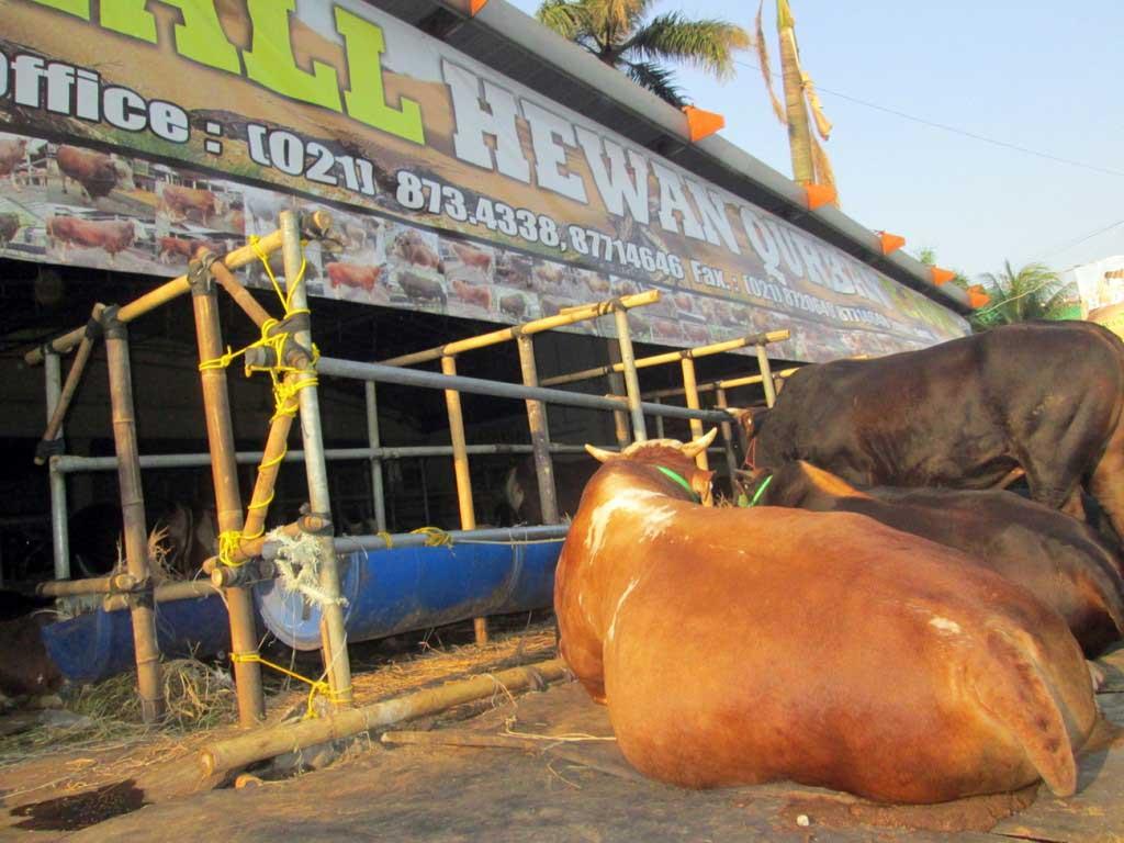 Seekor sapi asal Australia, di depan showroom hewan di Kelapa Dua, Depok