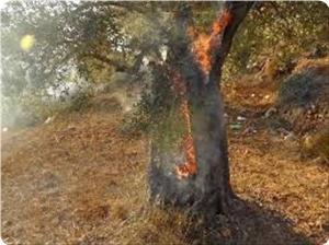 Israel Bakar 10 Hektar Pohon Zaitun di Pertanian Hebron