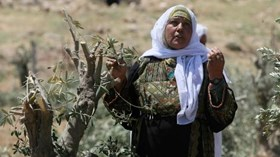 ISRAEL TUMBANGKAN 1.350 POHON ZAITUN SELAMA MARET