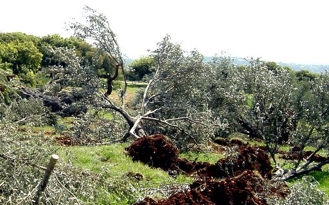 Pemukim Ilegal Israel Tebang 50 Pohon Zaitun Petani Palestina