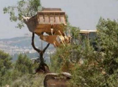 Tentara Israel Cabut Pohon Almond di Hebron