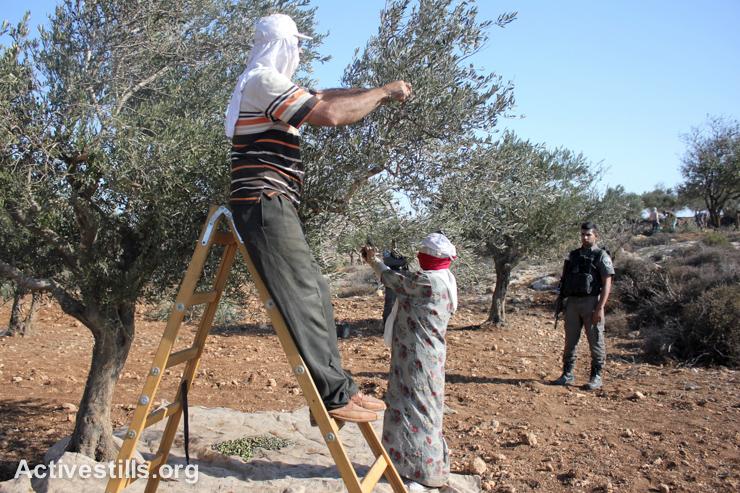 Petani Zaitun dan Relawan Pendampingnya di Nablus Diserang