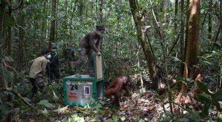 BKSDA Lepasliarkan Orangutan Sumatra