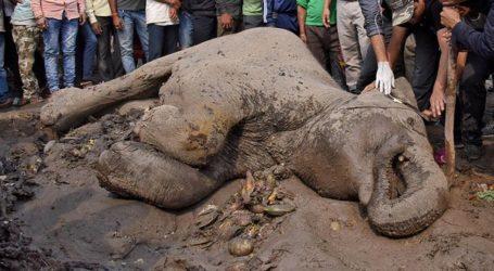Walhi: Konflik Gajah di Aceh Tidak Akan Selesai