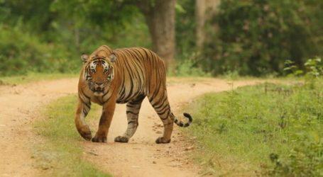 Tiga Ekor Harimau Sumatera Terlihat di Perkebunan Warga