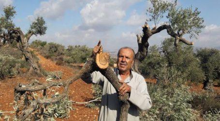 Pemukim Tebang dan Curi Ratusan Pohon Zaitun Palestina