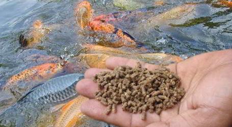 Mengolah Limbah Ikan Kayu Untuk Pakan Ternak