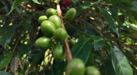 Tahun ini, Aceh Tengah Target 800 Kg Kopi Gayo per Hektare
