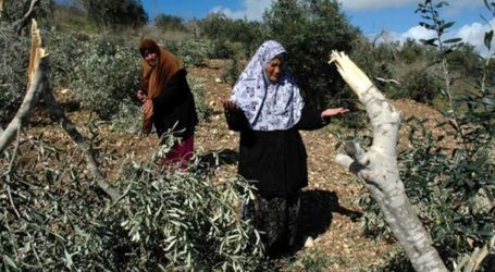 Pemukim Ilegal Israel Cabuti Ratusan Bibit Zaitun