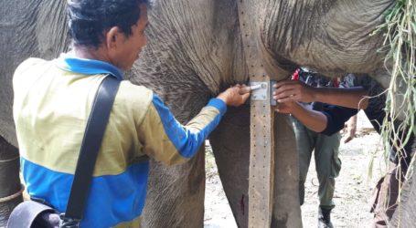 Kalung GPS Collar Dipasang Pada Gajah Terluka