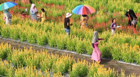 Taman Bunga Celocia di Calang, Aceh