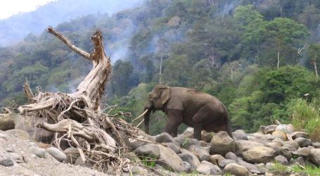 Belasan Kelompok Gajah Terpantau di Pesisir Timur Aceh