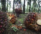 Kelapa Sawit Dominasi Sektor Perkebunan di Aceh