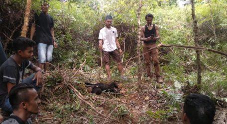 Dua Beruang Madu di Aceh Barat Daya Terjerat Perangkap Babi