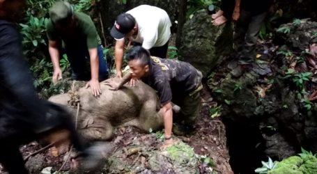 Anak Gajah di Aceh Terjerat Perangkap Dua Pekan