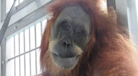 FORA: Sanksi Sosial Bagi Pembunuh Orangutan Sumatra di Subulussalam Tidak Cukup