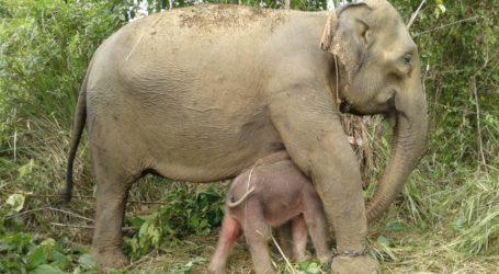 Suci, Gajah Jinak di CRU Alue Kuyun Melahirkan Anak Kedua