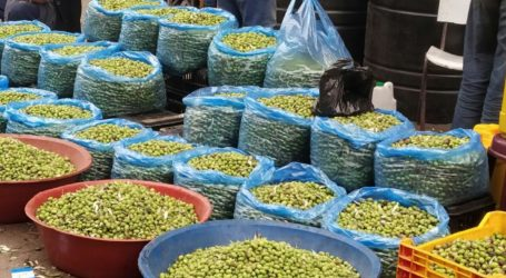 Panen Zaitun di Khan Younis, dari Ladang Menuju Pasar