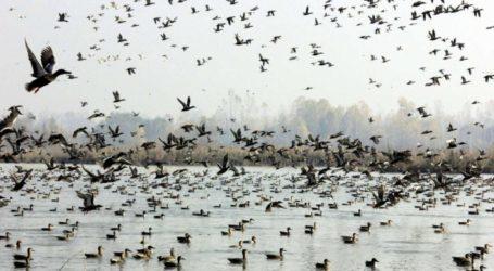 Burung-Burung dari Seluruh Dunia Mulai Migrasi ke Kashmir