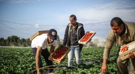 Jajaki Pasar Ekspor, Gaza Kirim Sampel Uji Stroberi ke UEA dan Bahrain