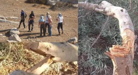 Pemukim Ilegal Yahudi Gergaji Puluhan Pohon Zaitun Milik Warga Palestina
