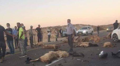 Pemukim Ilegal Yahudi Tabrakkan Mobilnya ke Kawanan Domba Milik Warga Palestina