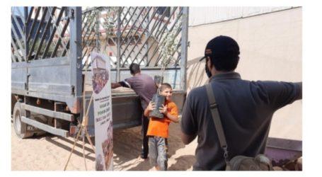 Terus Berlanjut, Program Wakaf Zaitun untuk Gaza Capai 1.326 Pohon