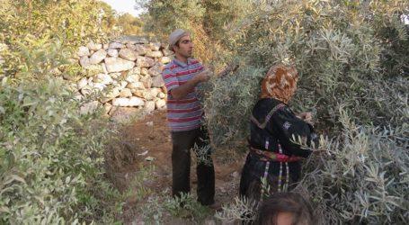 Israel Serang Acara Panen Zaitun di Ramallah