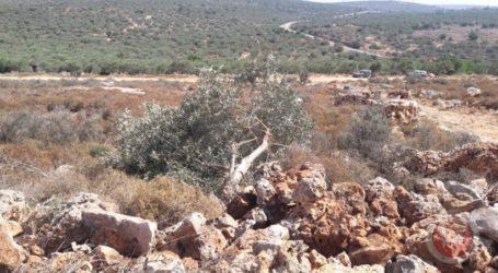 Pasukan Israel Cabut Puluhan Pohon Zaitun di Betlehem