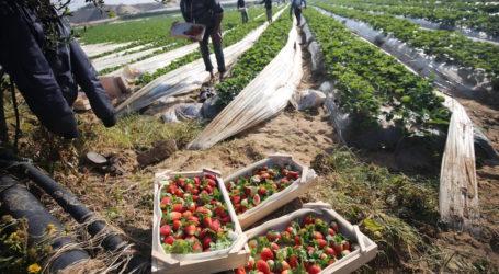 Gaza Tunggu Persetujuan untuk Ekspor Stroberi ke Eropa