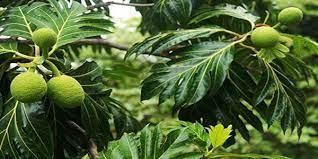BNPB: Pohon Sukun Sumber Ketahanan Pangan dan Pencegahan Bencana