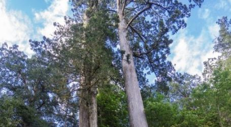 Ada Pohon Taiwan yang 'Menyentuh Bulan'