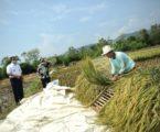 Gubernur Anies Panen Padi Bersama Petani Di Sumedang