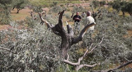 Pemukim Israel Rusak 1.600 Pohon Zaitun di Tepi Barat Dalam Dua Pekan Ini