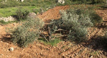 Pemukim Israel Hancurkan Lebih 140 Pohon Zaitun di Tepi Barat Selatan