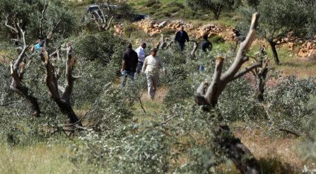 Gerakan Fazaa Pemuda Palestina Lindungi Panen Zaitun dari Pemukim Yahudi